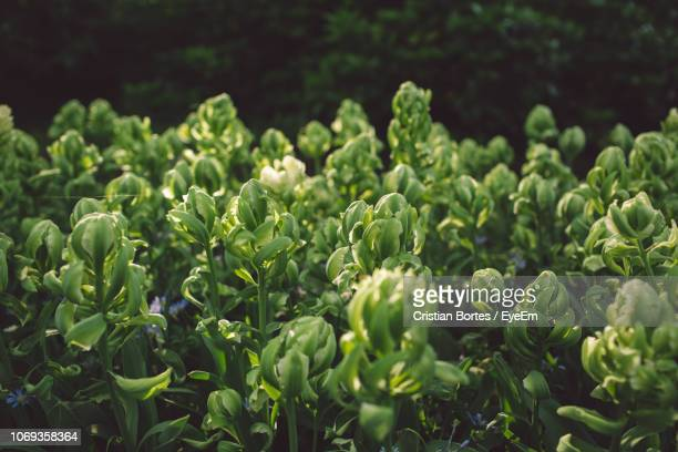 high angle view of vegetables growing in farm - bortes foto e immagini stock