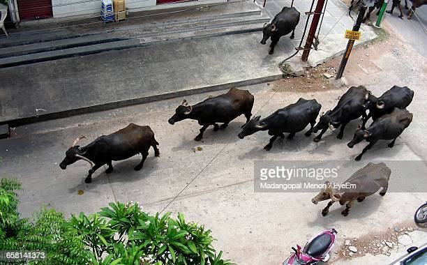 High Angle View Of Water Buffaloes Walking On Road