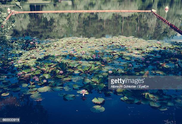 high angle view of water lilies in pond - albrecht schlotter stock photos and pictures