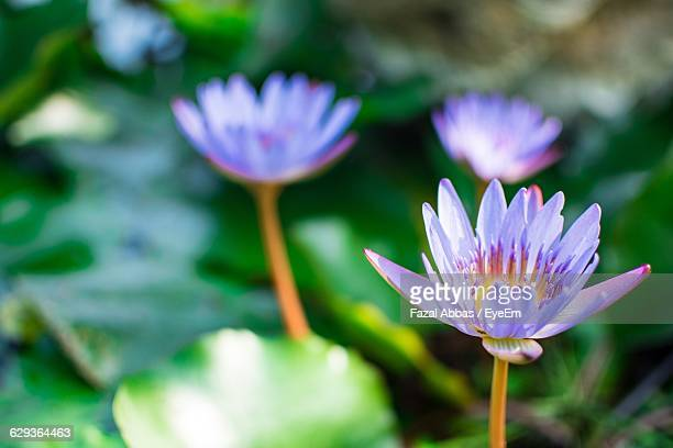High Angle View Of Water Lily Growing On Pond