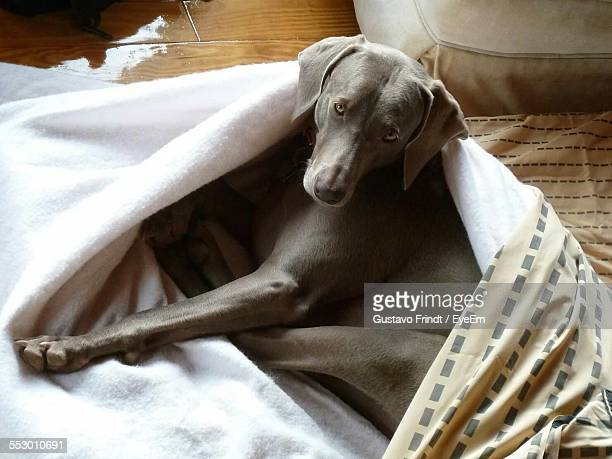 High Angle View Of Weimaraner Relaxing On Bed At Home