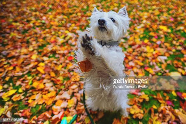 High Angle View Of West Highland White Terrier On Autumn Leaves