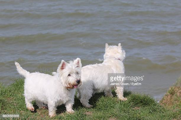 High Angle View Of West Highland White Terriers On Riverbank