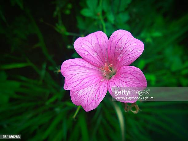 high angle view of wet geranium blooming in garden - geranium stock pictures, royalty-free photos & images