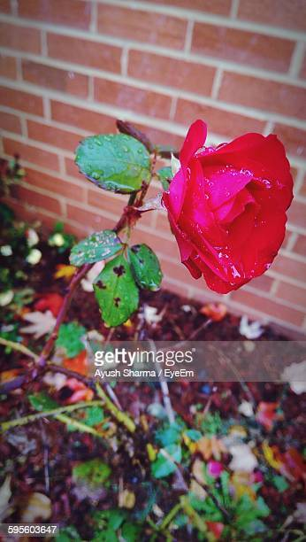 High Angle View Of Wet Red Rose