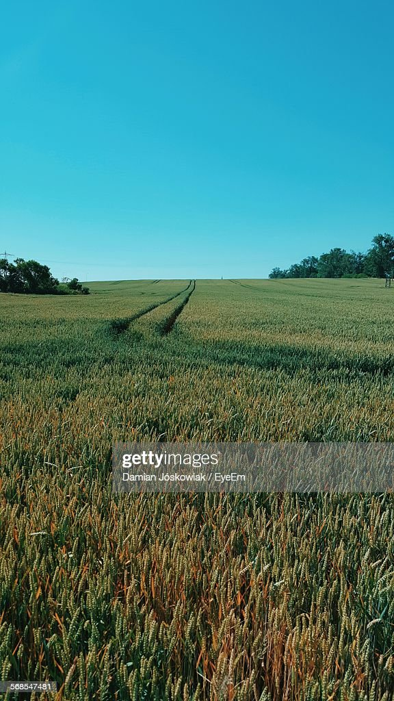 High Angle View Of Wheat Growing On Farm Against Clear Blue Sky : Stock Photo