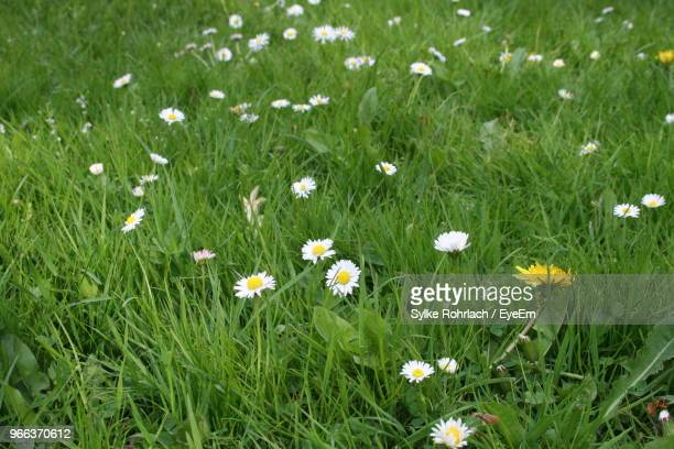 High Angle View Of White Daisy Flowers On Field
