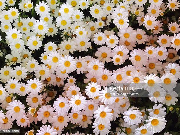 high angle view of white daisy flowers - daisy stock pictures, royalty-free photos & images