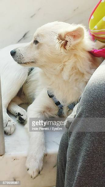 high angle view of white dog - massa stock pictures, royalty-free photos & images
