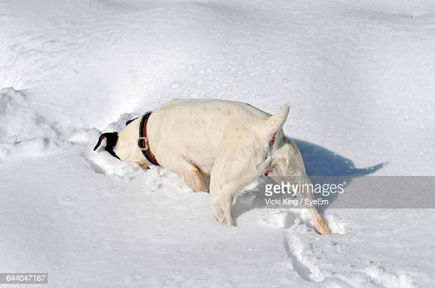 High Angle View Of White Dog Searching In Snow
