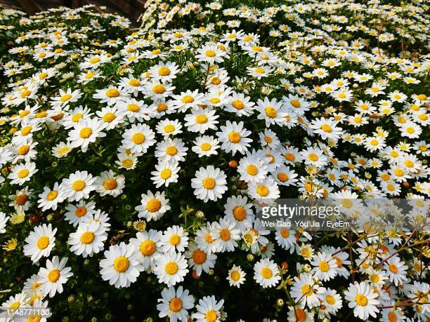 high angle view of white flowering plants on field - 果樹の花 ストックフォトと画像