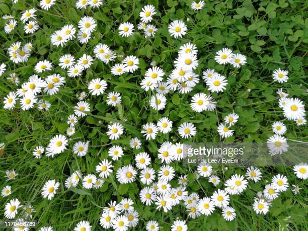 high angle view of white flowering plants on field - lucinda lee stock photos and pictures