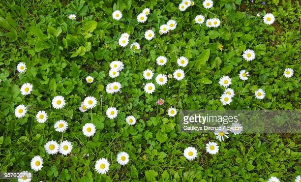 high angle view of white flowering plants on field - gras stock pictures, royalty-free photos & images