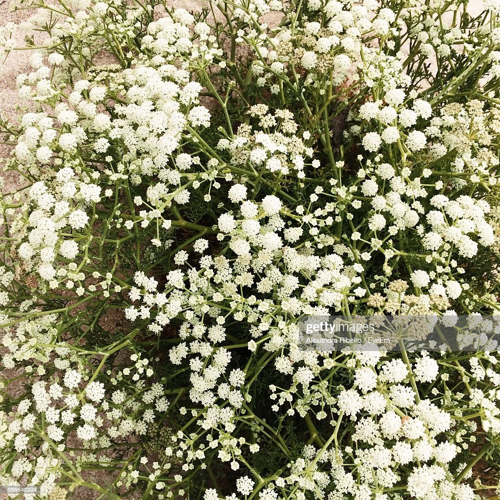 High Angle View Of White Flowers Blooming On Field : Stock Photo