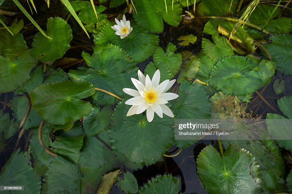 High Angle View Of White Flowers Floating On Water : Stock Photo