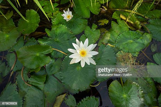 High Angle View Of White Flowers Floating On Water