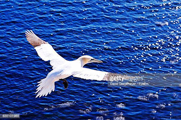 high angle view of white gannet flying over blue sea - gannet stock pictures, royalty-free photos & images