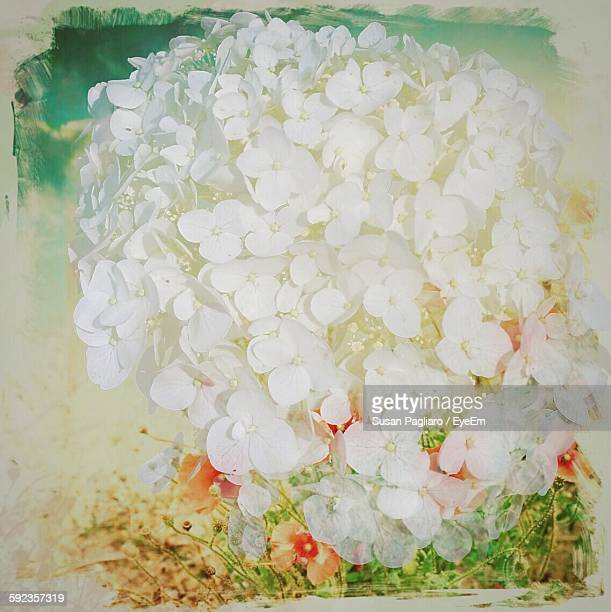 high angle view of white hydrangea blooming outdoors - transferbild stock-fotos und bilder