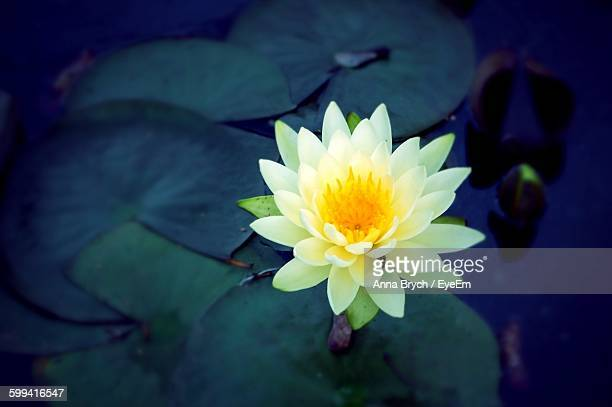 High Angle View Of White Lotus Water Lily On Pond