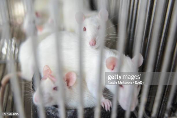 High Angle View Of White Mice In Cage