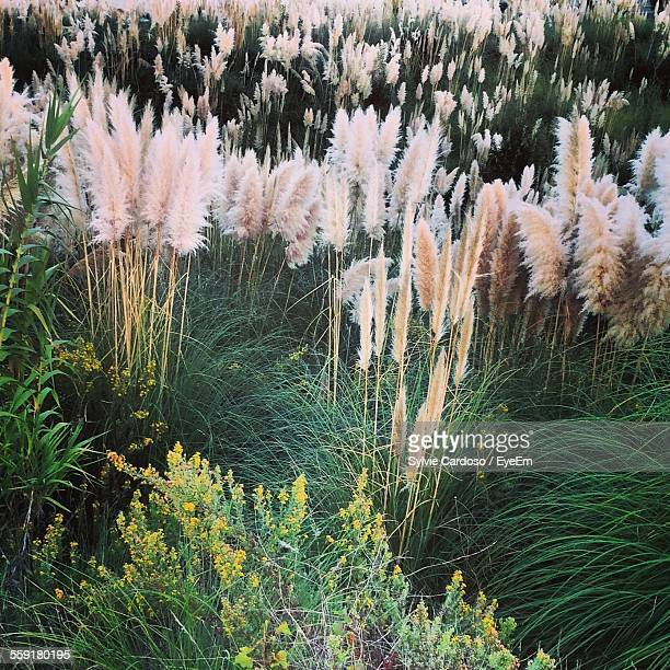 High Angle View Of White Pampas Flowers In Field