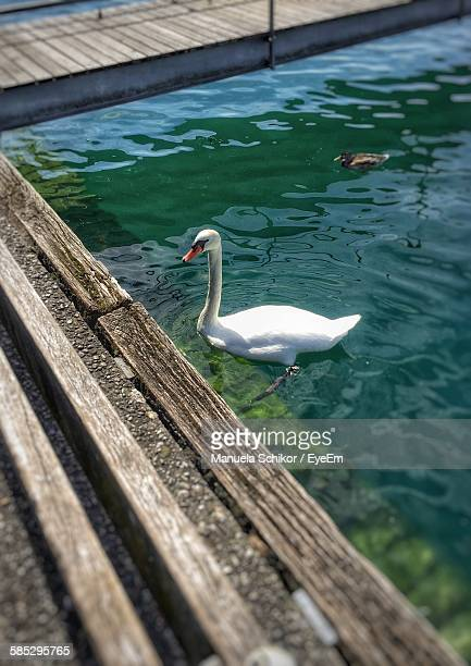 High Angle View Of White Swan And Duck In Lake