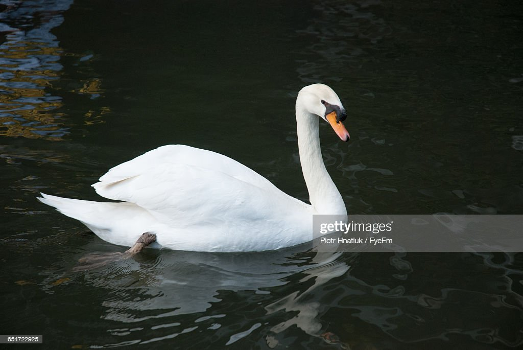 High Angle View Of White Swan Swimming In Lake : Stock Photo