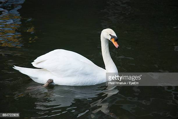 high angle view of white swan swimming in lake - piotr hnatiuk foto e immagini stock