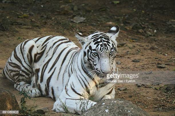 High Angle View Of White Tiger