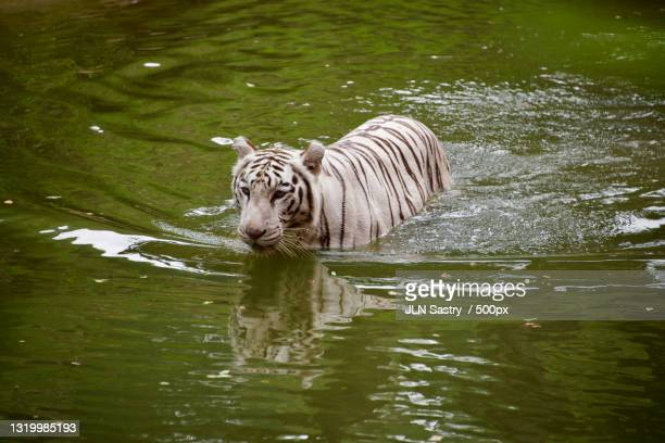 high angle view of white tiger swimming in lake - extremism stock pictures, royalty-free photos & images