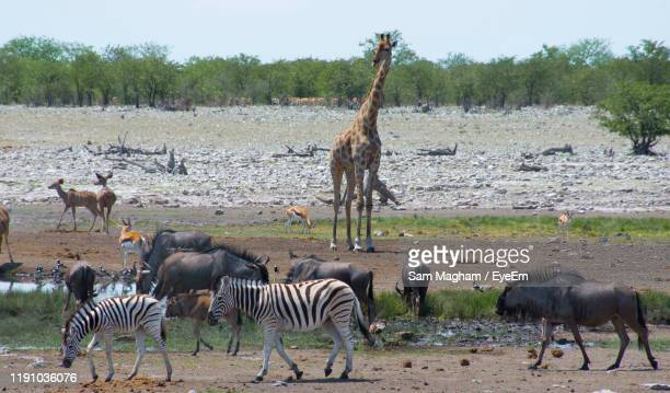 high angle view of wild animals in wildlife reserve - springbok deer stock photos and pictures