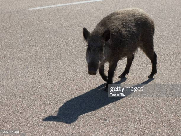high angle view of wild boar on road - wildschwein stock-fotos und bilder
