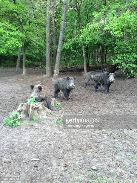 High Angle View Of Wild Boars On Field