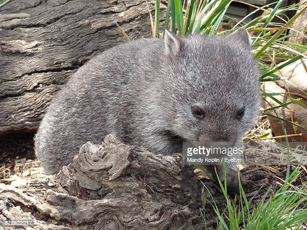 high angle view of wombat in forest - marsupial imagens e fotografias de stock