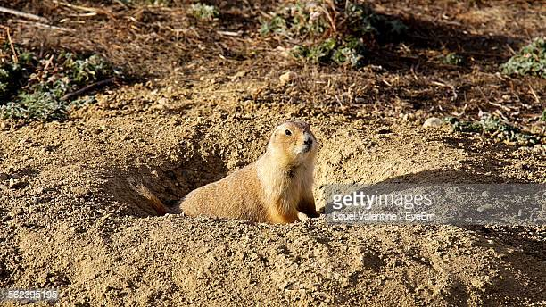 High Angle View Of Woodchuck In Hole
