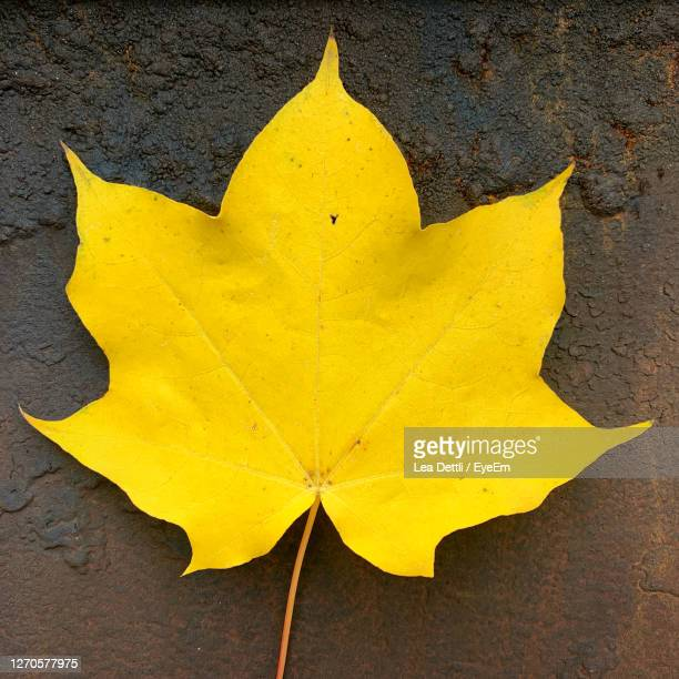 high angle view of yellow autumn leaf - star shape stock pictures, royalty-free photos & images