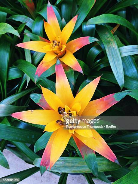 high angle view of yellow bromeliad blooming outdoors - bromeliad stock photos and pictures