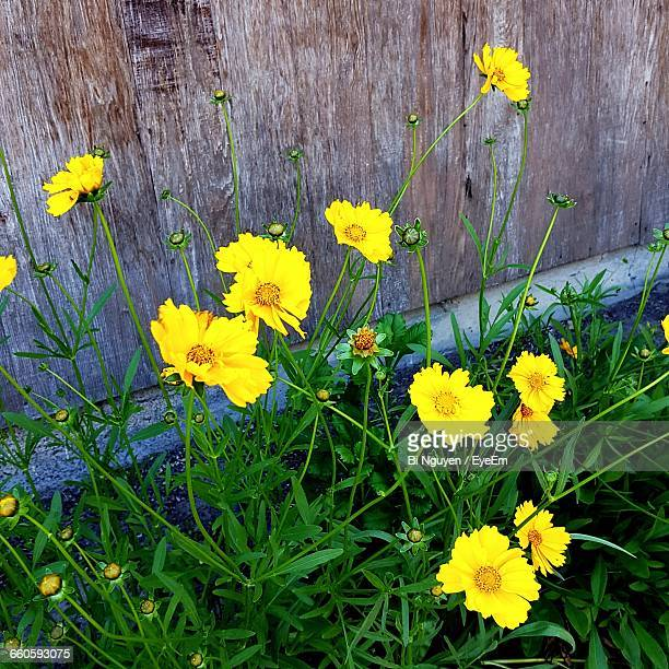 High Angle View Of Yellow Cosmos Flowers Blooming By Fence