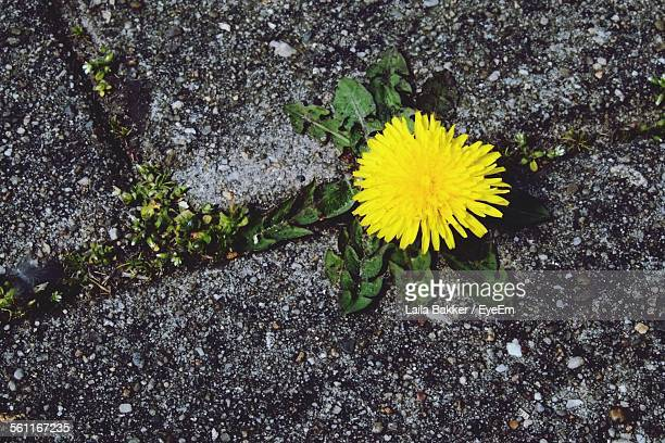 High Angle View Of Yellow Dandelion On Street