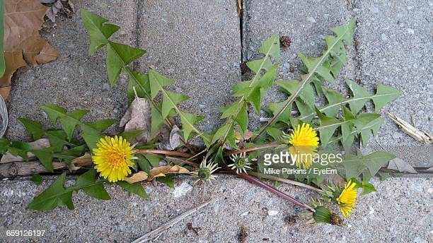 high angle view of yellow dandelions in yard - uncultivated stock pictures, royalty-free photos & images