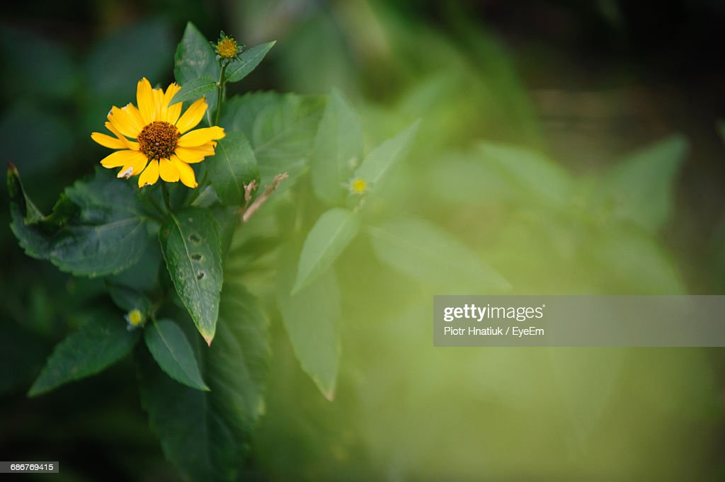High Angle View Of Yellow Flower Blooming Outdoors : Stock Photo