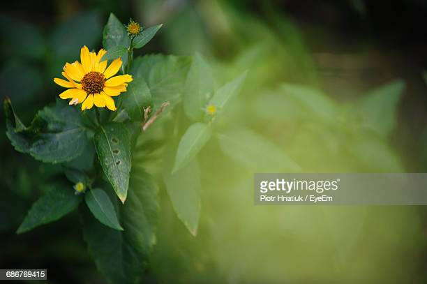 high angle view of yellow flower blooming outdoors - piotr hnatiuk imagens e fotografias de stock