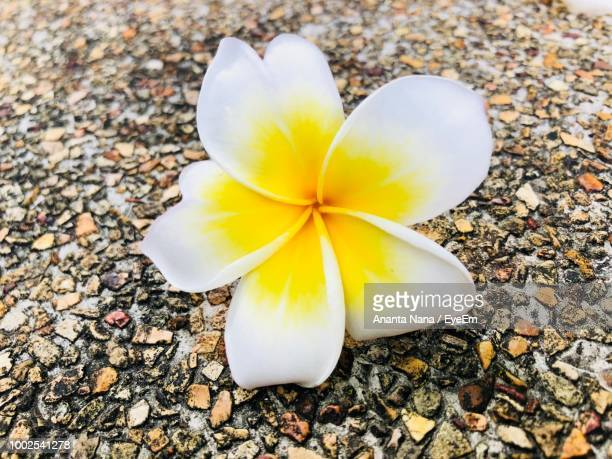 High Angle View Of Yellow Flower On Pebbles