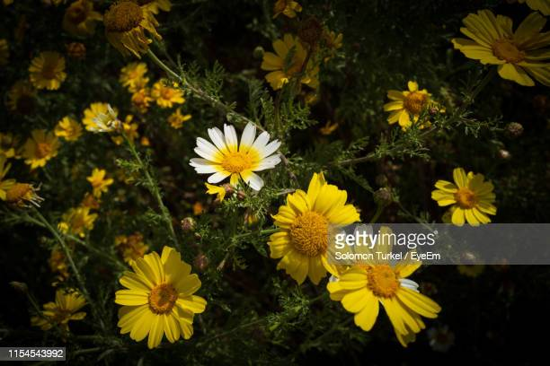 high angle view of yellow flowering plant - solomon turkel stock pictures, royalty-free photos & images
