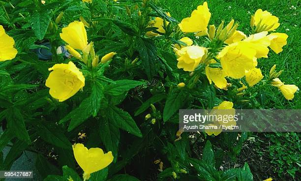 High Angle View Of Yellow Flowering Plants Growing On Field