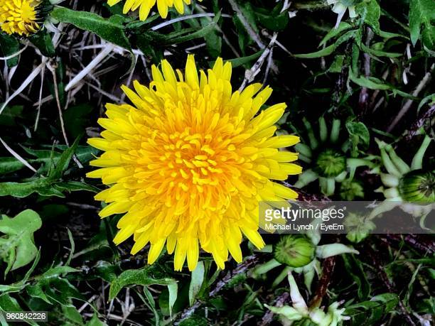 high angle view of yellow flowering plants on land - dandelion leaf stock pictures, royalty-free photos & images