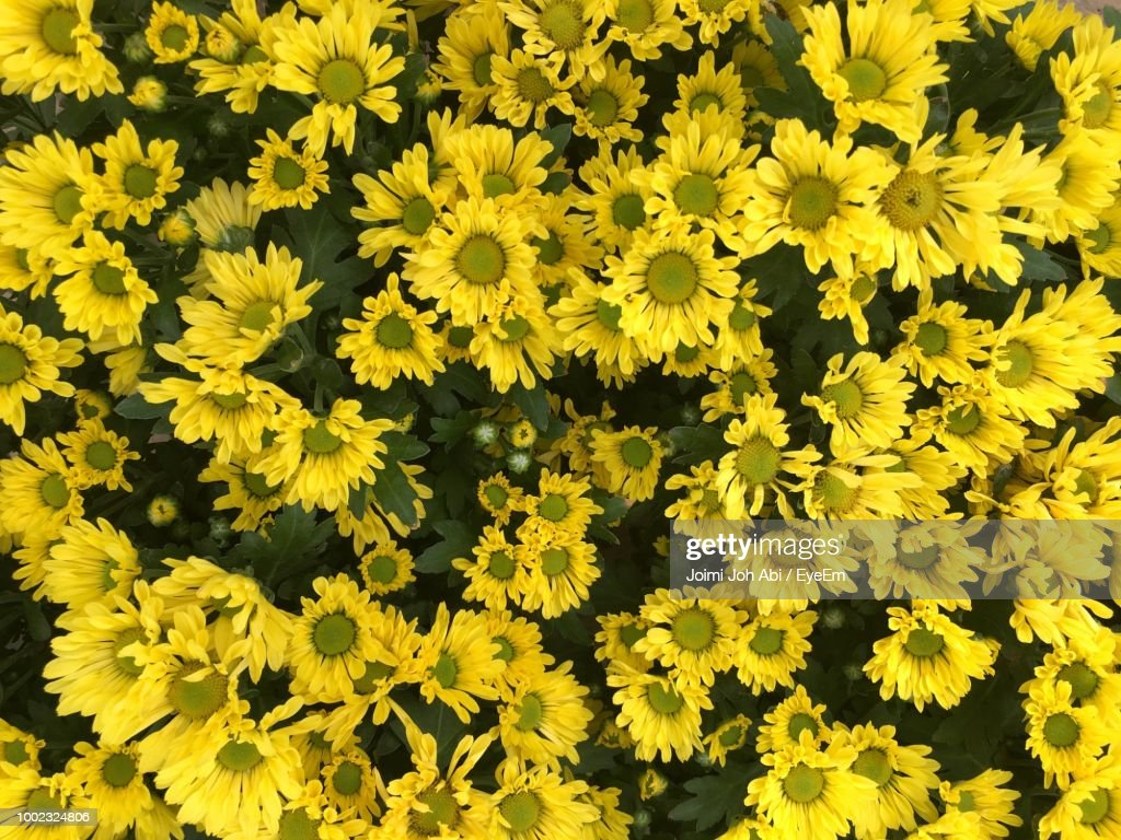 High Angle View Of Yellow Flowering Plants Stock Photo Getty Images