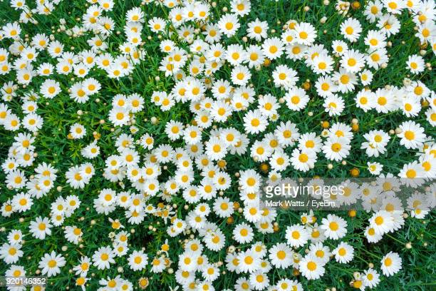 high angle view of yellow flowers blooming on field - daisy stock pictures, royalty-free photos & images