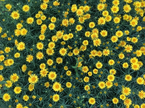 High Angle View Of Yellow Flowers Blooming On Field - gettyimageskorea