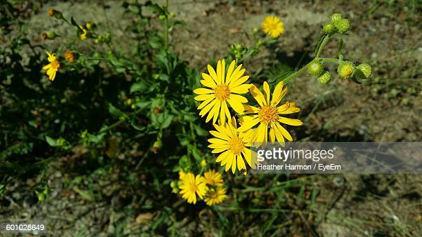 high angle view of yellow flowers - heather harmon stockfoto's en -beelden